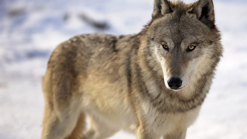 Under Wisconsin law, when the wolf is delisted, the state's annual hunting and trapping seasons...