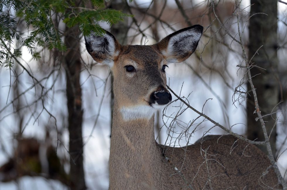 A close-up shot of a white-tailed deer in winter in an Upper Peninsula deer wintering complex.