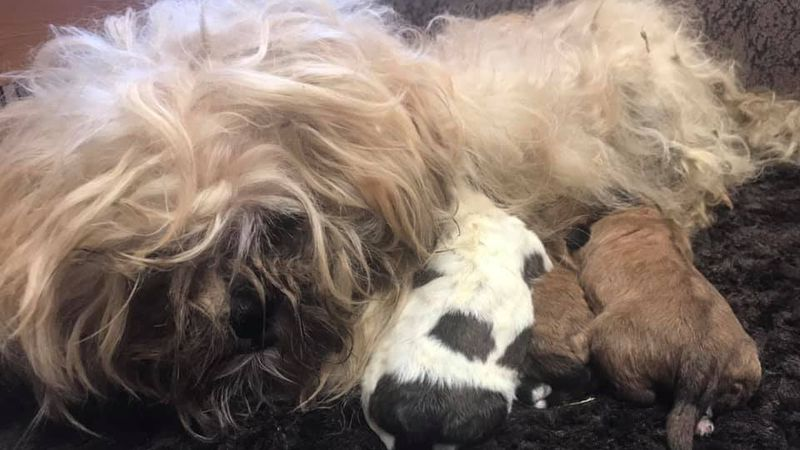 A dog and her puppies at the Delta Animal Shelter after being seized from a property in Maple...