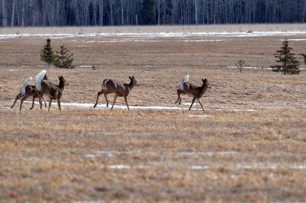 White-tailed deer gather in a field in the eastern Upper Peninsula in Mackinac County.