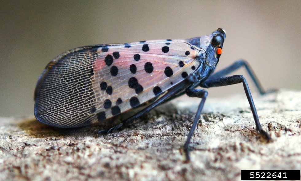 Spotted lanternflies are more likely to be seen with wings folded. Look for grey to brown wings...
