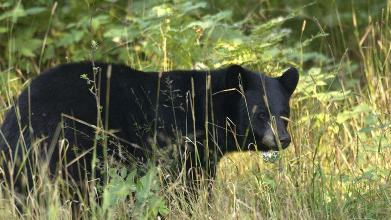 A photo of a Michigan black bear. (Michigan DNR Photo)