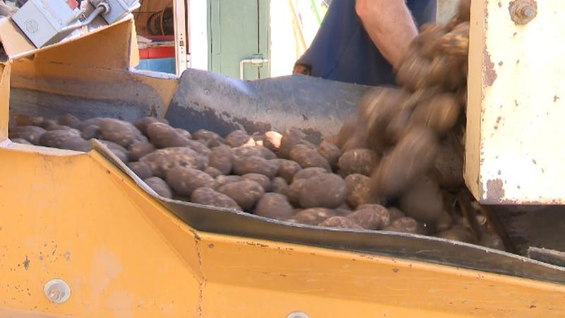 Potatoes at Johnson Potato Farm.