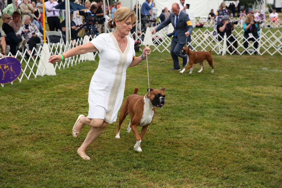 A boxer competes at the Westminster Kennel Club dog show on Sunday, June 13, 2021, in...