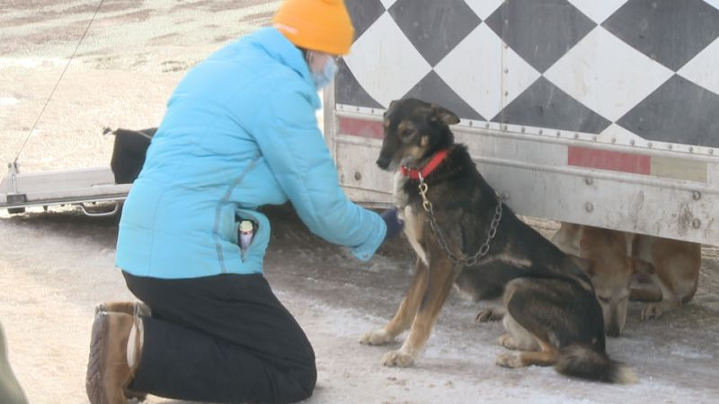A vet checks a dog's heart rate.