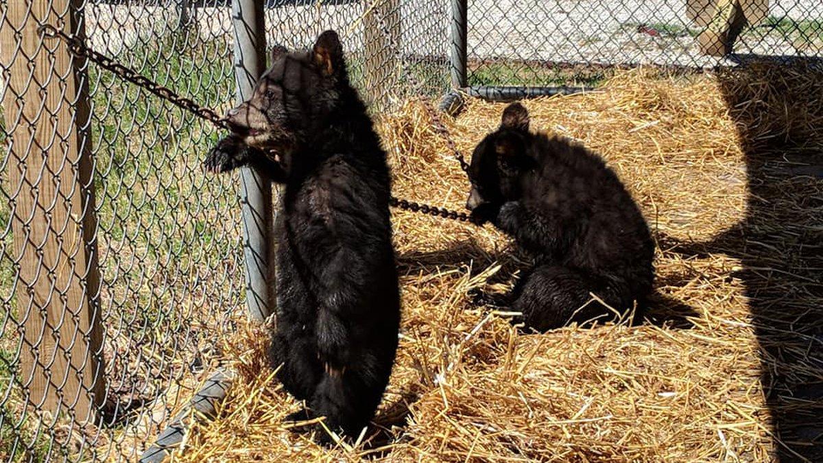 Photo courtesy: Oswald's Bear Ranch; Sophie & Sassy in 2018 in their transport unit.