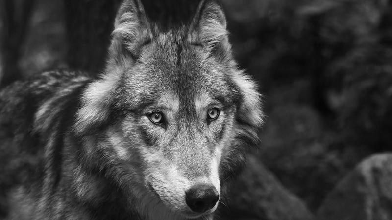Gray wolf photo.