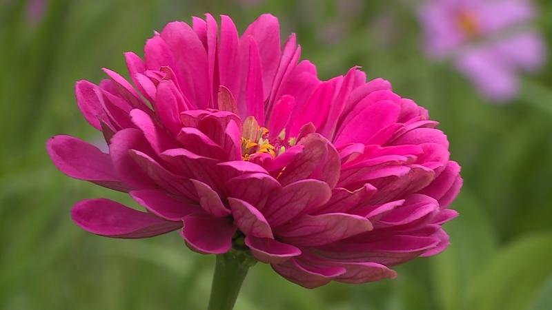 A bright pink-flower, part of the Garden Tour