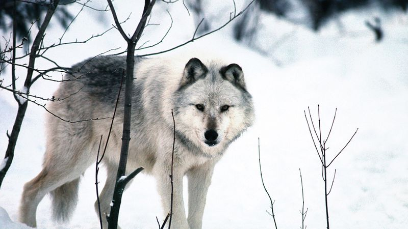 A gray wolf in the winter woods.