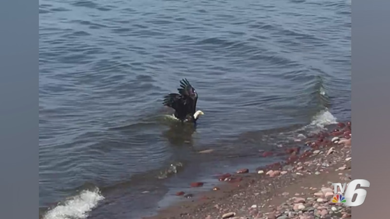 A bald eagle as it reaches the Calumet Waterworks beach, following a swim in Lake Superior on ...