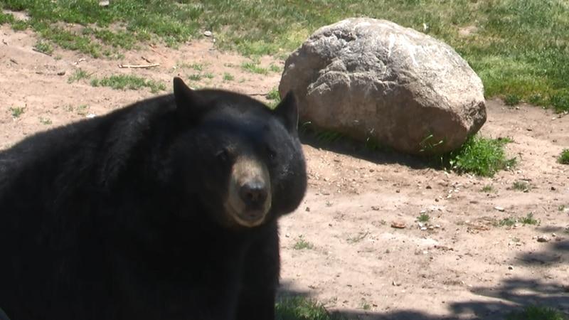 A female black bear at Oswald's Bear Ranch eats an apple