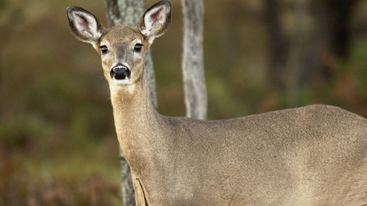 A whitetail deer stops near the woods.