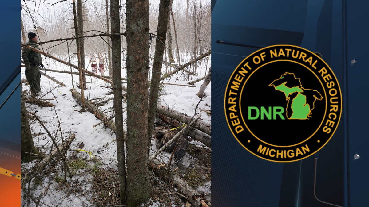 A Michigan Department of Natural Resources conservation officer investigates snares that Pickford resident Kurt Johnston Duncan was charged with using to illegally capture animals.