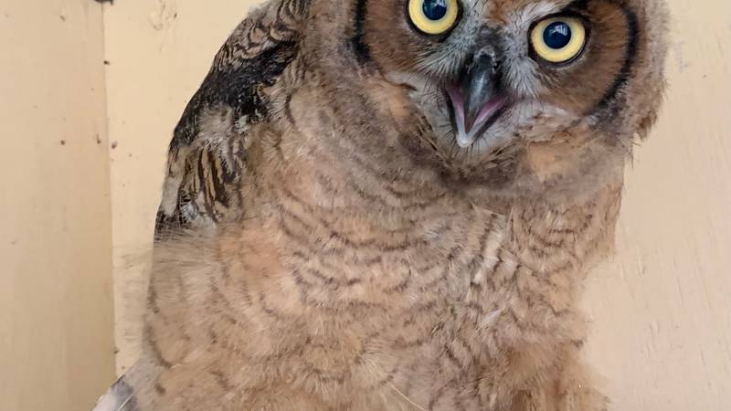 This great-horned owl was very excited to spread his wings and fly back to nature Friday morning.