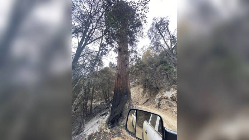 Firefighters took extraordinary measures to protect the sequoias by wrapping fire-resistant...