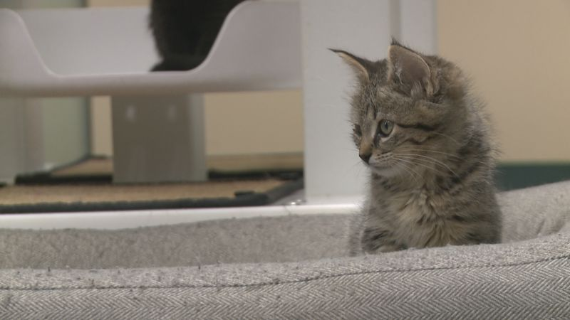 A kitten living at the Copper Country Humane Society.