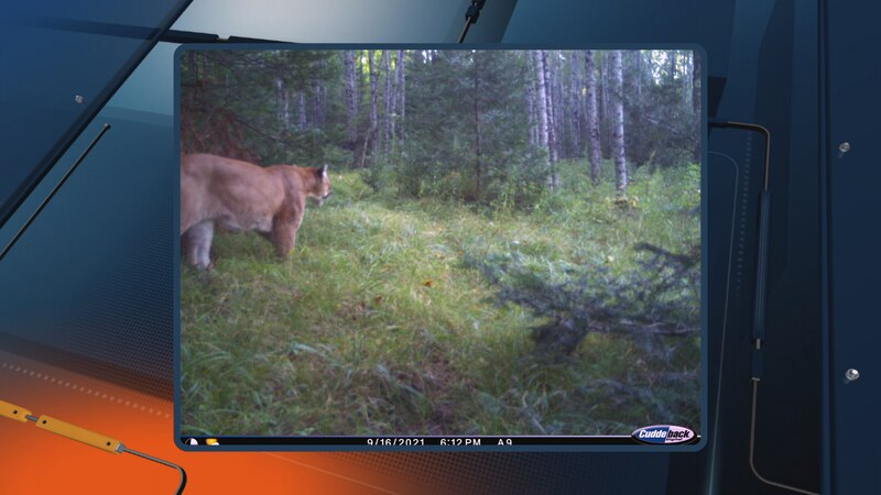 On Sept. 16, this trail camera photo was taken of a cougar in southern Dickinson County. This...