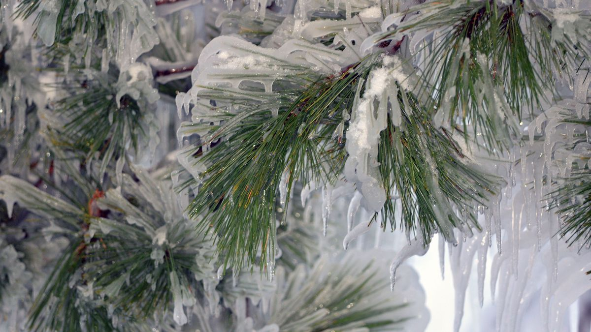Pine boughs encased in ice are shown. (John Pepin/Michigan DNR Photo)