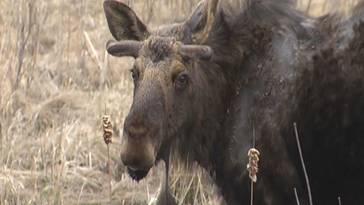 Moose will be moving around more frequently during the fall, according to the DNR.