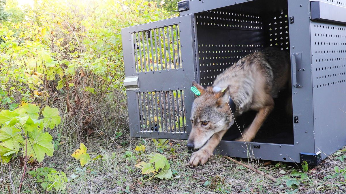 Photo courtesy: Isle Royale National Park; female wolf already released on the island.
