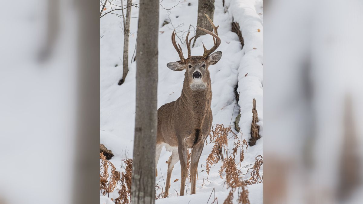 Steve Lindberg posted this photo to his Facebook page: a buck with three antlers in the Upper Peninsula (Steve Lindberg photo).