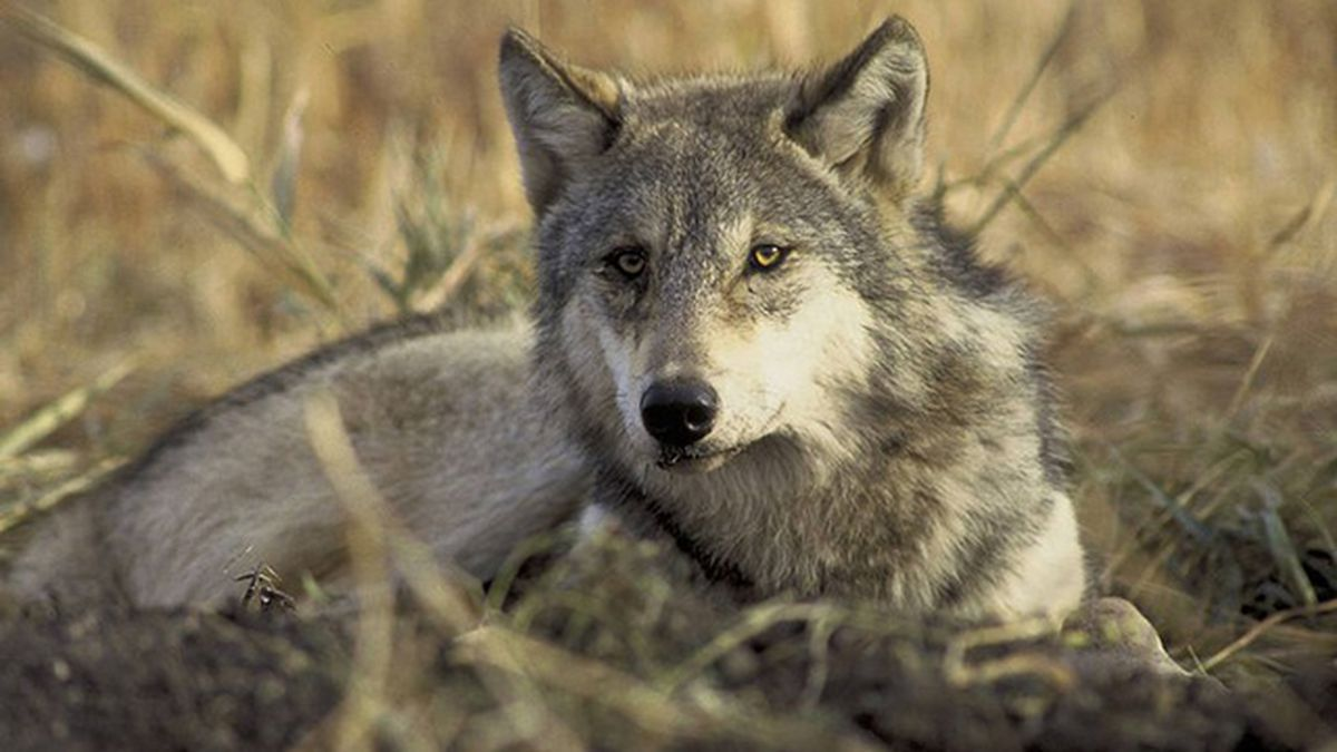 USFWS photo or a gray wolf.
