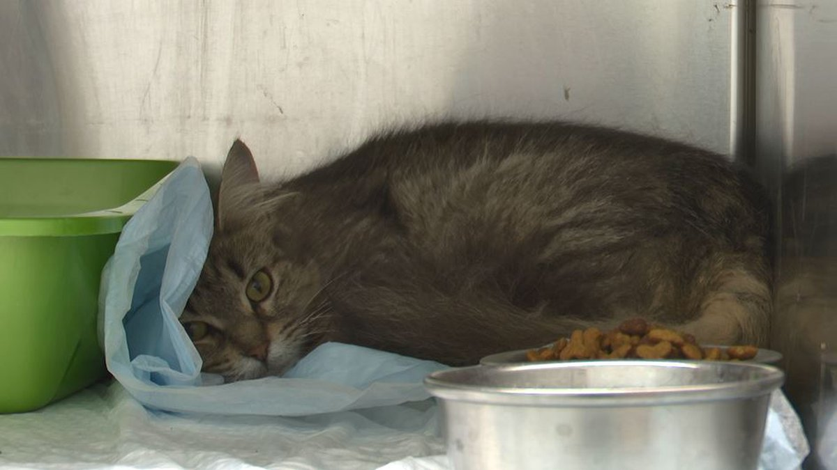 One cat rescued from hoarding situation in Manistique home.