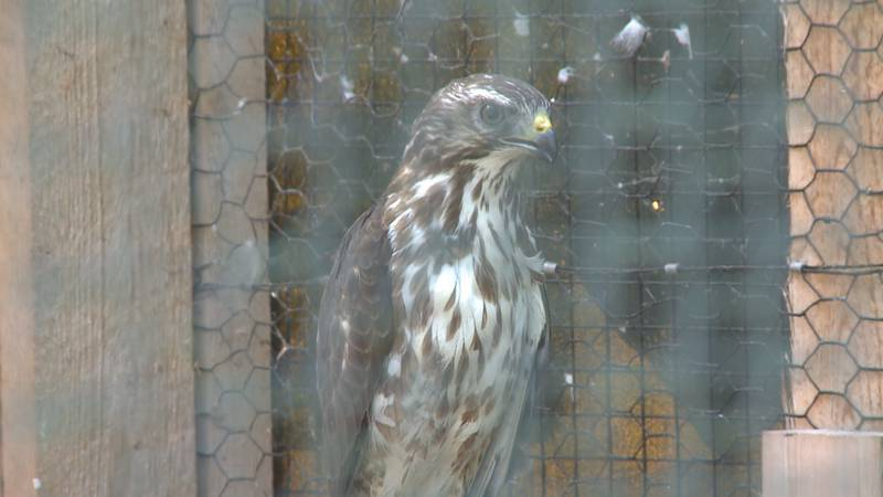 The broad-winged hawk sits in his temporary enclosure before being released.