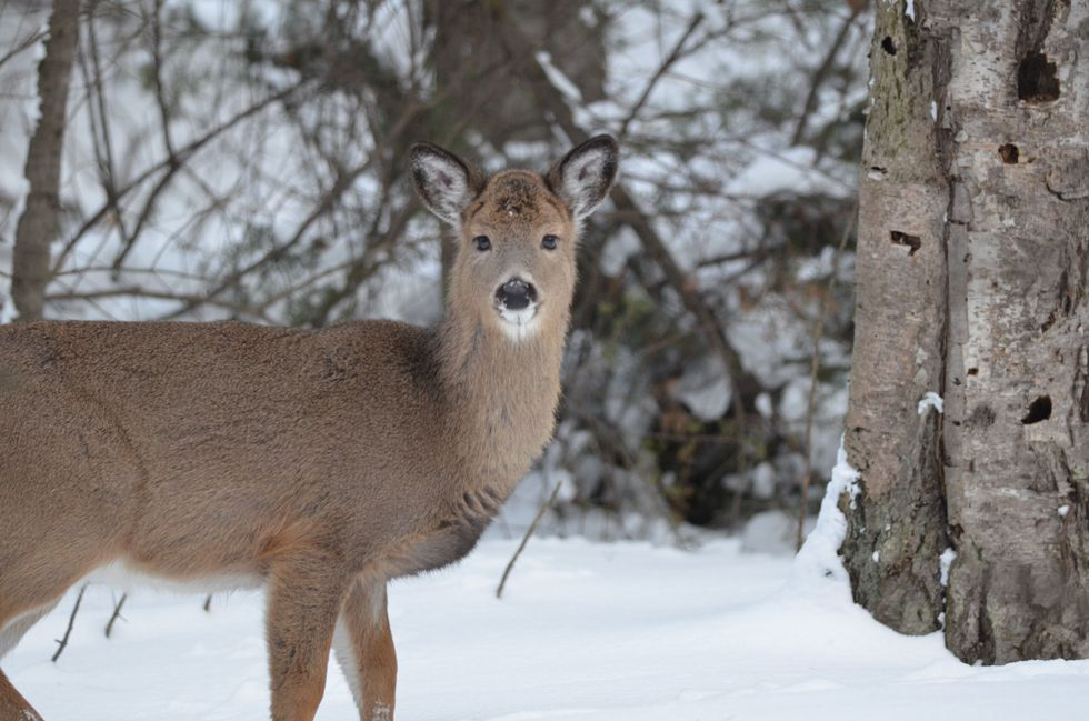 A white-tailed deer in a deer wintering complex in January.