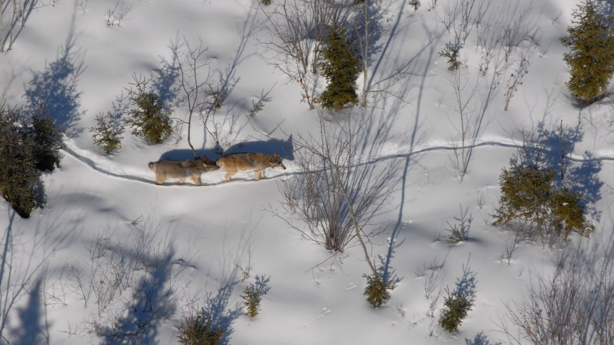 Photo courtesy: Michigan DNR; Two wolves on a winter trail from a previous wolf survey.
