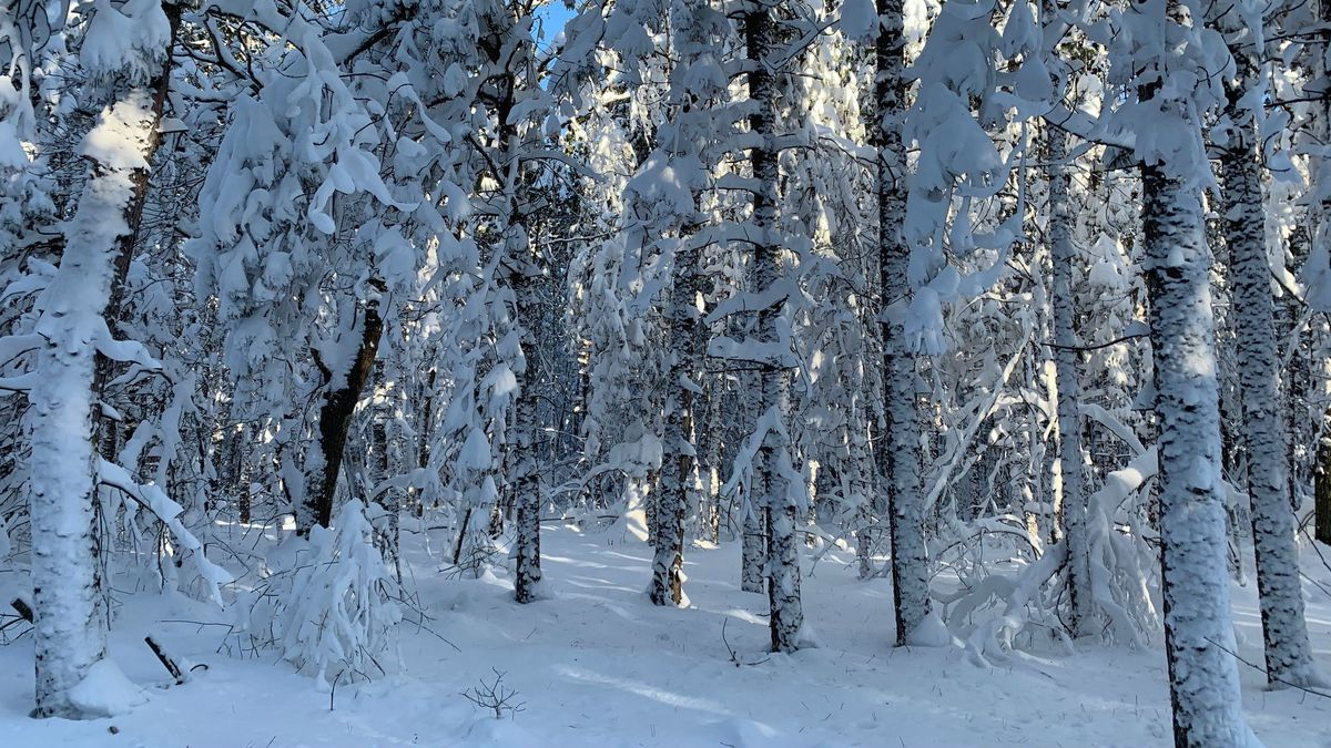 Snow-covered trees in Michigan's Upper Peninsula (WLUC image)
