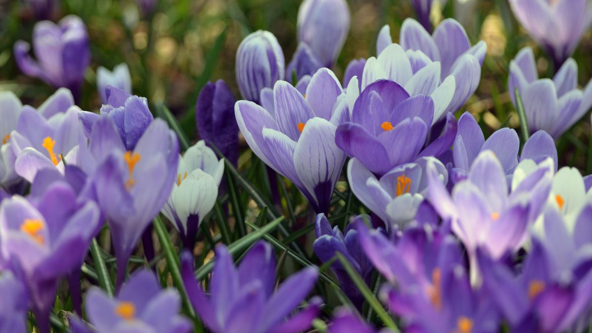 Springtime crocus blooms from an Upper Peninsula garden are shown.